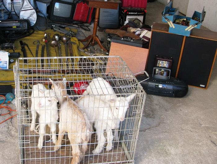 Las cabras y objetos recuperados por la Guardia Civil en la operación LOLAILO.