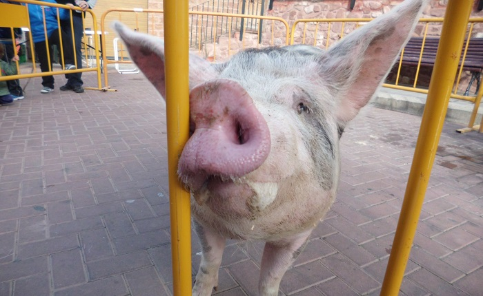 El cerdo fue mostrado al público durante la celebración del 'Matapuerco' en Gátova.