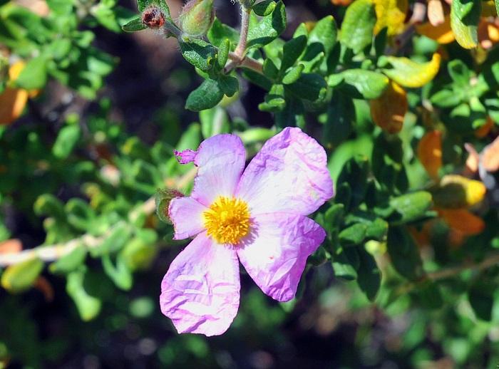Flor de la 'Jara de Cartagena' localizada en La Pobla de Vallbona. Foto: Jesús Tortajada.