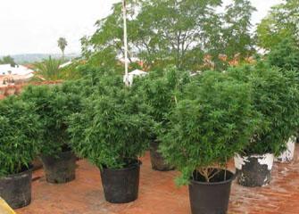 Plantación de marihuana en Marines, el Camp de Túria