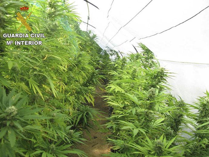 Plantación de marihuana en Olocau, comarca del CAmp de Túria