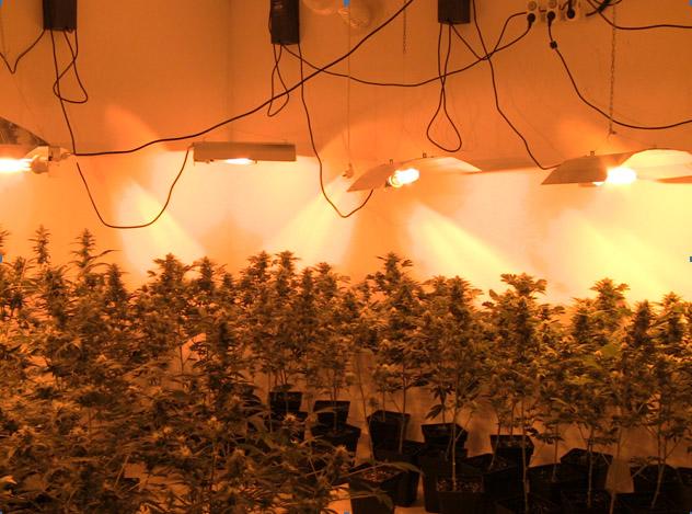 Plantación clandestina de marihuana en Llíria